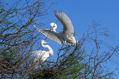 Great Egrets on an island at risk from climate change.